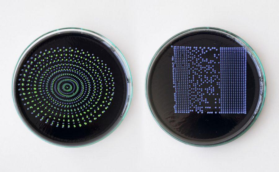Arduino pipeta - Vzorky v Petriho miskách
